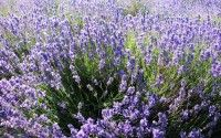 Lavender fields in Provence – Origin – Facts