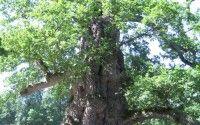 Chene a Guillotin – Oak Tree – Broceliande