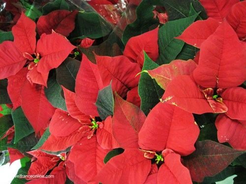 poinsettia - Christmas Poinsettia
