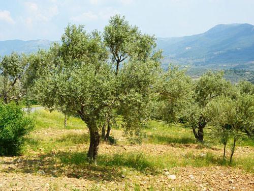 Olive grove - Saint Remy de Provence