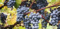 Beaujolais Vineyard – Wine Appellations