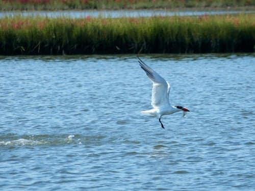 Baie d'Audierne - tern fishing