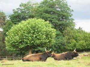 Le-Thot-prehistoric-park-Vezere-Valley-aurochs