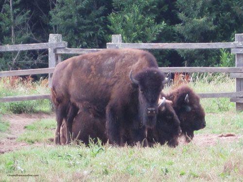 Le Thot - European bison