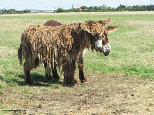 Old species of donkeys in the Ecomuseum Marais Vendeen