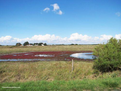 Marais Breton-Vendeen - Halophyte plants